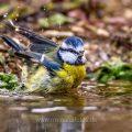 Blaumeise (Parus caeruleus) badend