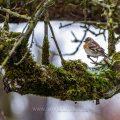 Bergfink (Fringilla montifringilla) Weibchen
