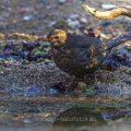 Amsel (Turdus merula) Weibchen