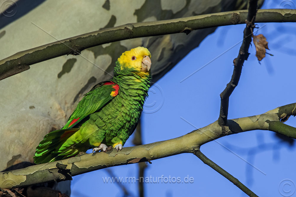 Gelbkopfamazone (Amazona oratrix)