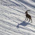 Alpensteinbock (Capra ibex) im Gegenlicht