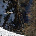 Bartgeier (Gypaetus barbatus) in seinem Lebensraum