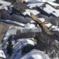 Bartgeier (Gypaetus barbatus) über Leukerbad