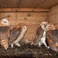 Schleiereule (Tyto alba) flügge Junge in Nistkasten