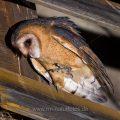 Schleiereule (Tyto alba) flügge Junge