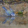 Blaumeise (Cyanistes caeruleus) am Vogelbad