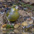 Grünfink (Carduelis chloris) Männchen an Wasserstelle