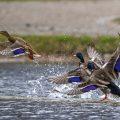 Stockenten (Anas platyrhynchos) Männchen jagen ein Weibchen