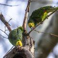 Gelbkopfamazonen (Amazona oratrix)