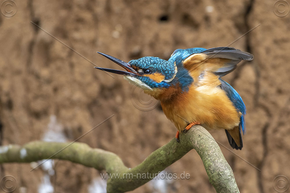 Eisvogel (Alcedo atthis) Männchen streckt sich bei der Gefiederpflege
