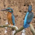 Eisvogel (Alcedo atthis) Männchen und Weibchen