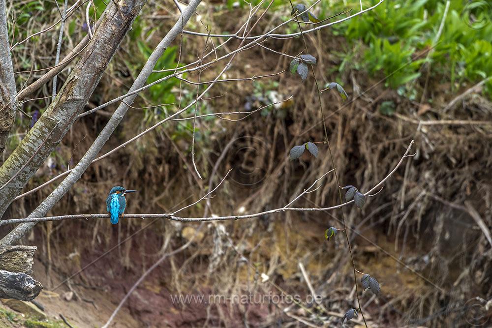 Eisvogel (Alcedo atthis) Männchen in seinem Lebensraum