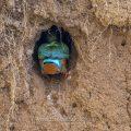 Eisvogel (Alcedo atthis) in der Brutröhre