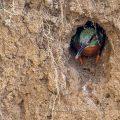 Eisvogel (Alcedo atthis) Männchen schaut aus der Brutröhre