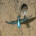 Eisvogel (Alcedo atthis) fliegt an seine Höhle