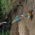 Eisvogel (Alcedo atthis) im Anflug an die Höhle (Sandwich-Technik mit 3 Bildern)