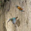 Eisvogel (Alcedo atthis) im Abflug von der Höhle (Sandwich-Technik mit 2 Bildern)