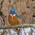 Eisvogel (Alcedo atthis) Männchen würgt Speiballen hervor