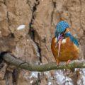 Eisvogel (Alcedo atthis) Männchen schleudert Speiballen weg