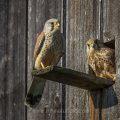 Turmfalke (Falco tinnunculus) Männchen und Weibchen - DC (Digital Composite aus 2 Bildern)