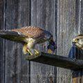Turmfalke (Falco tinnunculus) Männchen übergibt Beute an Weibchen