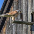 Turmfalke (Falco tinnunculus) Männchen mit Maus