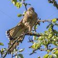 Turmfalke (Falco tinnunculus) Weibchen