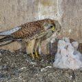 Turmfalke (Falco tinnunculus) Weibchen füttert Junge im Nistkasten