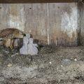 Turmfalke (Falco tinnunculus) Weibchen füttert Junge im Nistkasten, das Männchen bringt Beute