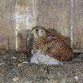 Turmfalke (Falco tinnunculus) Weibchen hudert Junge im Nistkasten