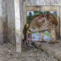 Turmfalke (Falco tinnunculus) Weibchen mit Beute im Nistkasten