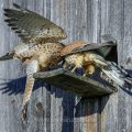Turmfalke (Falco tinnunculus) Männchen übergibt Weibchen Beute
