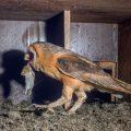Schleiereulen (Tyto alba) in Nistkasten