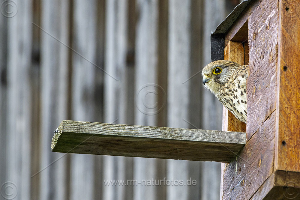 Turmfalke (Falco tinnunculus) Weibchen am Nistkasten