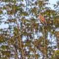 Turmfalke (Falco tinnunculus) Männchen beim morgendlichen Aufwärmen