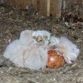 Turmfalke (Falco tinnunculus) Junge im Nistkasten