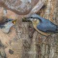Kleiber (Sitta europaea) füttert Junge an der Höhle