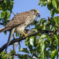 Turmfalke (Falco tinnunculus) Weibchen kröpft Maus