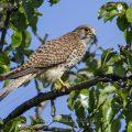 Turmfalke (Falco tinnunculus) Weibchen mit Maus