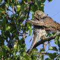 Turmfalke (Falco tinnunculus) Weibchen bei der Gefiederpflege
