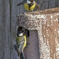 Kohlmeisen (parus major)