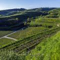 Weinberge bei Ihringen, Kaiserstuhl, Baden-Württemberg, Deutschland