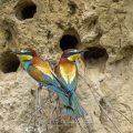 Bienenfresser (Merops apiaster)