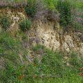 Bienenfresser (Merops apiaster) im Brutbiotop