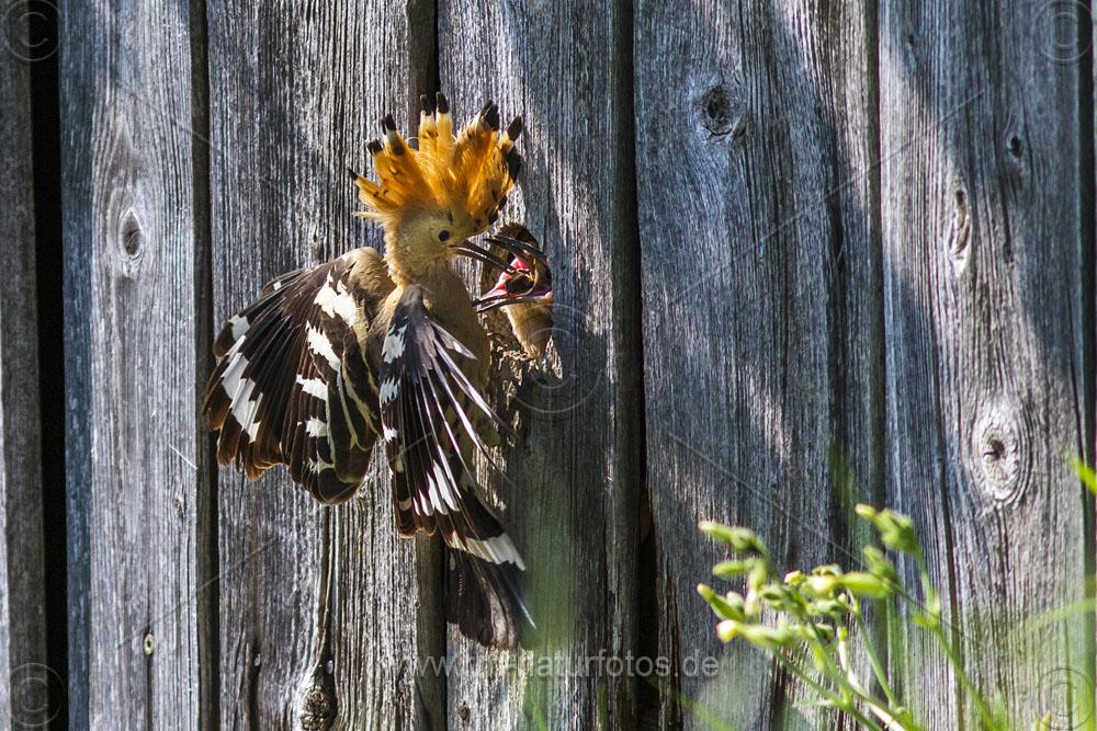 Wiedehopf (Upupa epops) füttert Junge