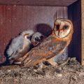 Schleiereule (Tyto alba) in Nistkasten