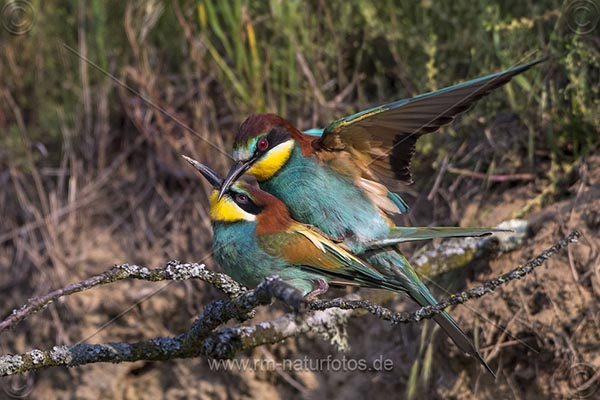 Bienenfresser (Merops apiaster) Paarung