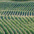 Maisfelder, Jagdgebiet der Bienenfresser