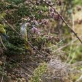 Bienenfresser (Merops apiaster) bekommen Besuch von einem Pirol