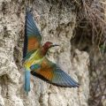 Bienenfresser (Merops apiaster) kommt rückwärts aus der Höhle und dreht sich